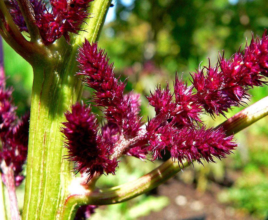 936px-Amaranthus_cruentus_Foxtail_2