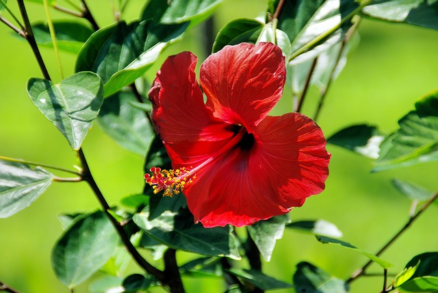 red-hibiscus-1034792_640